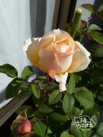寒風の中、元気に開いたバラの花