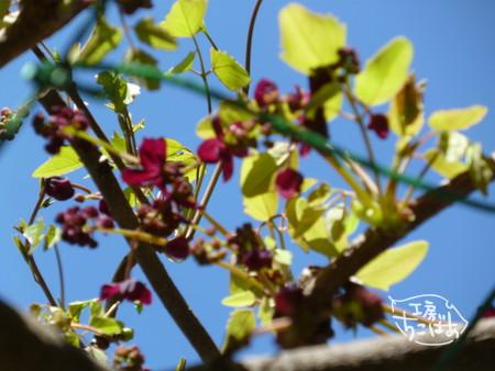 アケビの花と快晴の空