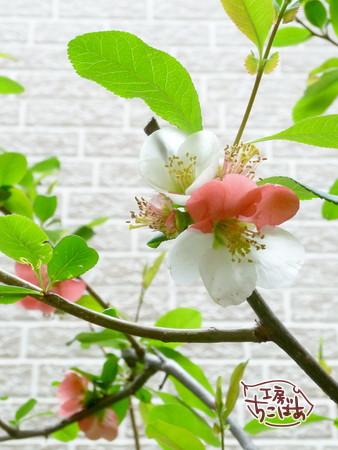 一輪で紅白の花びらの木瓜の花