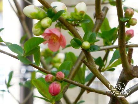 木瓜(ぼけ)の花