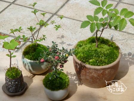 9月現在のミニ盆栽たち