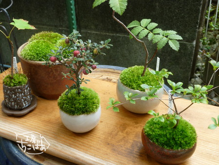 事故前のミニ盆栽たち