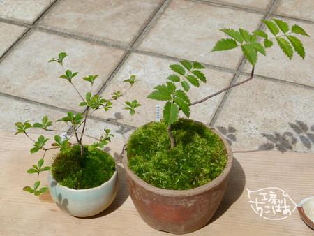 植え替えた2鉢