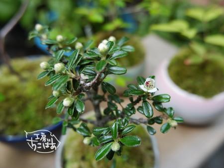 シロシタンの白い花